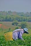 Teegarten in Nord-Thailand Stockbilder
