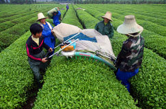 Teelandwirte, die Teeblätter auswählen stockbilder