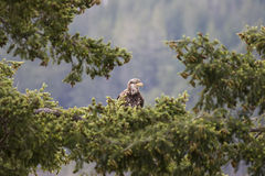 Teen Bald Eagle. A teenaged bald eagle sits in the lush branches of a west coast fir tree. This one's salt and pepper head feathers indicate approaching maturity Royalty Free Stock Photos
