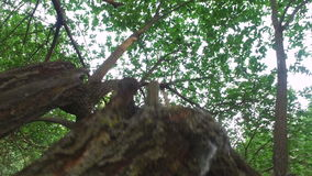 Teen boy climbs on old tree. The boy is really like to climb on a tree. stock footage