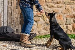 Teen boy doing some basic training with dog. Offering a treat for good behaviour stock photos