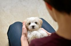 Teen boy with white puppy maltese dog. Teen boy play with white puppy maltese dog Royalty Free Stock Image