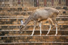 Teen deer were living in a zoo. Teen deer were living In the natural atmosphere of the zoo Royalty Free Stock Photography