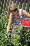 Teen girl picking ripe red currants Stock Photo