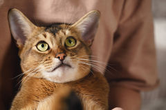 Teen girl with sad abyssinian cat on knees sitting on couch. Closeup photo Royalty Free Stock Photography