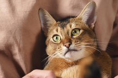 Teen girl with sad abyssinian cat on knees sitting on couch. Closeup photo Stock Image