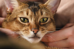 Teen girl with sad abyssinian cat on knees sitting on couch. Closeup photo Stock Photos
