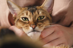 Teen girl with sad abyssinian cat on knees sitting on couch. Closeup photo Royalty Free Stock Images