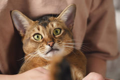 Teen girl with sad abyssinian cat on knees sitting on couch. Closeup photo Royalty Free Stock Photos
