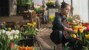 Teen girl working in the greenhouse with blooming tulips. Teen girl helps on work mom in a greenhouse with tulips stock video