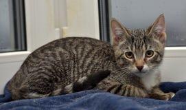Teen kitten 3 months Stock Photography