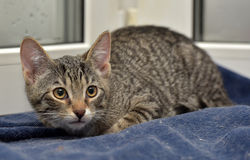 Teen kitten 3 months Royalty Free Stock Image