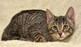 Teen kitten 3 months Royalty Free Stock Photo