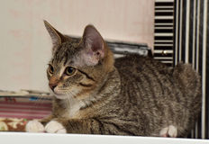 Teen kitten 3 months Stock Photos