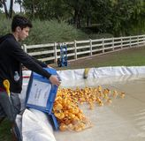 Teen Volunteer Dumps a crate of rubber duckies into the man-made pond during the Rubber Duck Festival. One of several crates of rubber ducks are emptied into the stock images