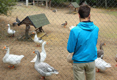 Teenage boy and geese at the zoo Stock Image