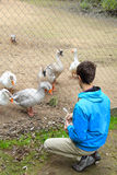 Teenage boy and geese at the zoo Stock Photo
