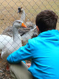 Teenage boy and geese at the zoo Stock Images