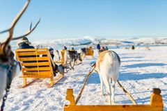 Reindeer safari. Teenage boy and his family sledding at reindeer safari on sunny winter day in Northern Norway Royalty Free Stock Photos