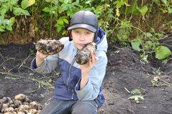 The teenage boy holds large tubers of potatoes which are dug out Royalty Free Stock Photos