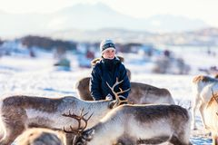 Teenage boy with reindeer. Teenage boy surrounded by many reindeer on sunny winter day in Northern Norway Royalty Free Stock Images