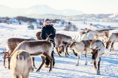 Teenage boy with reindeer. Teenage boy surrounded by many reindeer on sunny winter day in Northern Norway Stock Photo