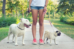 Teenage girl walking pet dogs, pug dog and bull terrier in park Stock Images