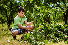 Teenage kid picking cherries Royalty Free Stock Image