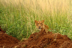 Teenage male lion looking out from the jungle. A teenage male lion looks out from the grass of the jungle Stock Images