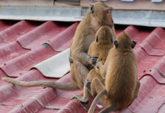 A teenage monkeys sits on the roof of the house Royalty Free Stock Photo