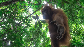 Teenage orangutan reaches down below Royalty Free Stock Images