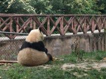 Panda in Panda Research Center in Chengdu, China. stock photos