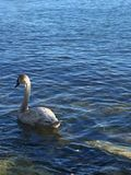 Teenage swan in the Lake Ontario. royalty free stock images