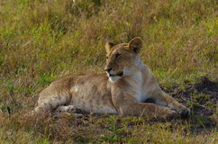 Teenaged lioness. Lioness resting during daytime in national park Masai-Mara Royalty Free Stock Photos