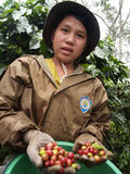 Teenager as a farm worker harvesting coffee berries Royalty Free Stock Photography
