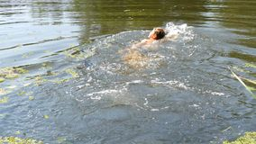 Teenager boy is bathing in a wild river in the summer. Duckweed on the river in natural natural conditions. A teenager boy is bathing in a wild river in the stock video