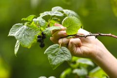 Teenager boy harvesting black currant with basket Stock Photo