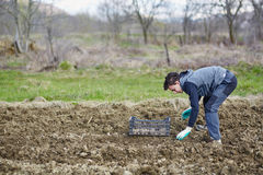 Teenager boy sowing potatoes Stock Images