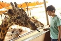 Teenager boy in zoo feeding giraffes. Close up photo royalty free stock photography