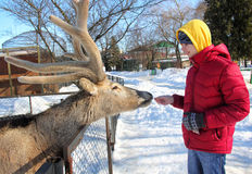Teenager Feeding Deer in the Zoo Stock Photo