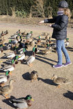 Teenager feeding ducks Stock Image