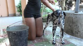Teenager girl bathing a cute Dalmatian dog stock video footage
