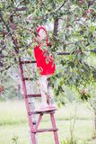 Teenager girl in red dress standing on wooden stairs and collecting sweet cherry fruits. Prunus avium plant royalty free stock photography
