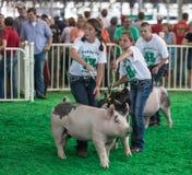 Teenager mit Schweinen am Staat Iowa angemessen Stockfoto