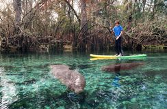 A teenager on the paddle boar swims among the manatees. State pa. Rk of Florida, USA Stock Photos