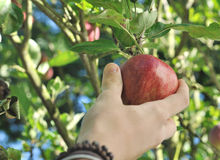 Teenager's hand picking red apple in the tree Stock Photos
