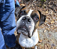 Boxer Expression Royalty Free Stock Images