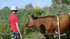 Teenager standing in pasture and gives the cow grass from his hands. Younger generation of farmers stock footage