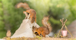 Teepee visit. Close up of  red squirrel standing on a teepee  with another squirrel going in with bird watching Royalty Free Stock Photos