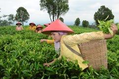 Teepflücker stockfotos